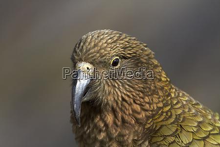 kea new zealand alpine parrot nestor