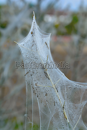 ermine moth yponomeutidae webs on bush