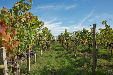 grapes in the vineyard in the