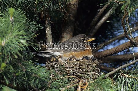 american robin turdus migratorius brooding nestlings
