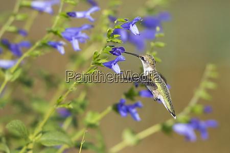 ruby throated hummingbird archilochus colubris at
