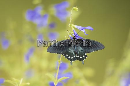 pipevine swallowtail battus philenor on blue