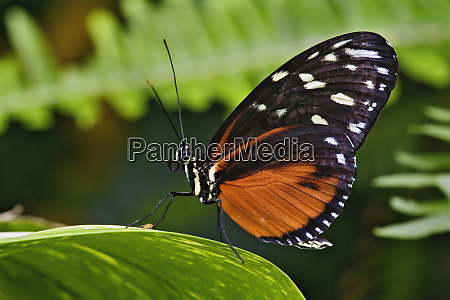 tiger longwing butterfly heliconius hecale native