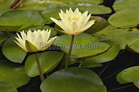 hybrid water lilies white river gardens