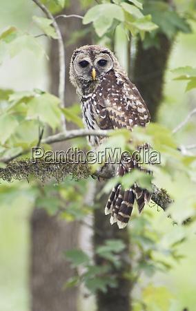 louisiana near vacherie barred owl strix