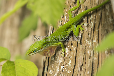 usa louisiana lake martin green anole