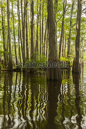 usa louisiana atchafalaya basin cypress trees