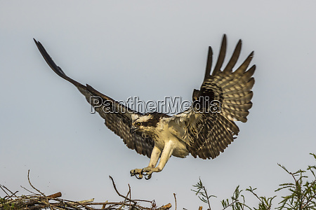 usa louisiana atchafalaya basin osprey landing