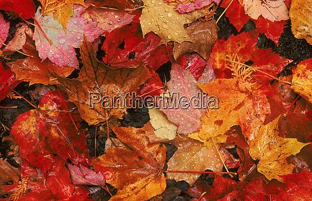 usa maine autumn maple leaves credit