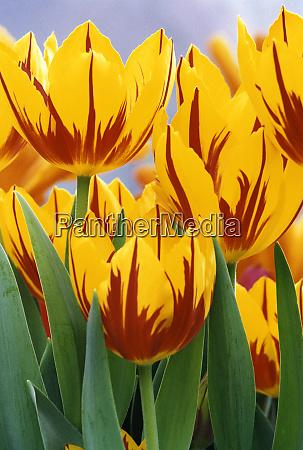 usa, , indiana, , indianapolis., vibrant, yellow, and - 27697160