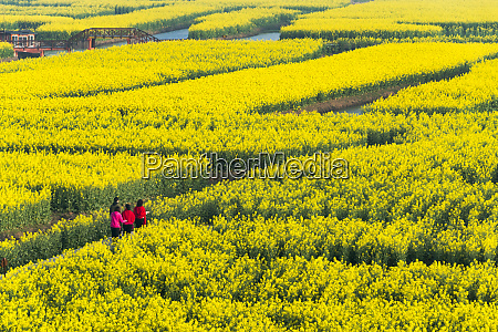 tourists on thousand islet canola flower