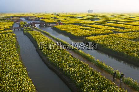 thousand islet canola flower fields with