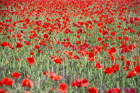red poppy germany