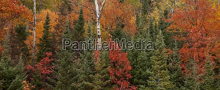 usa michigan upper peninsula evergreens and