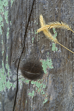 usa montana grasses on old fence