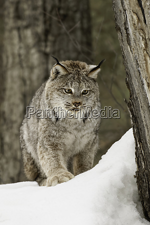canada lynx or canadian lynx in