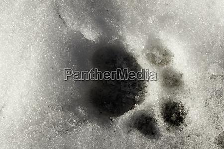 siberian tiger footprint in snow captive