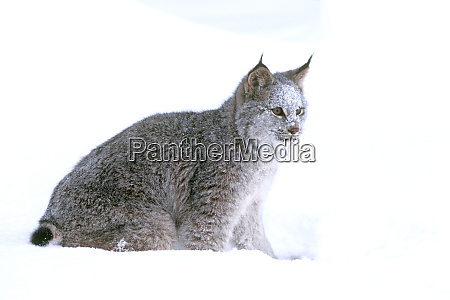 a canadian lynx lynx canadensis pauses