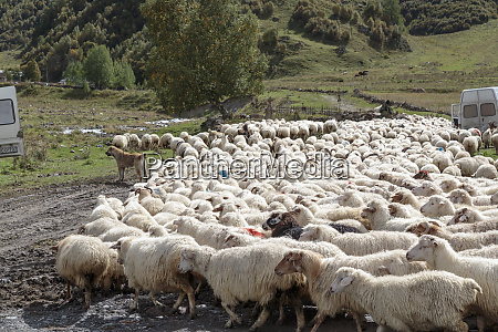 georgia mtskheta juta herd of sheep