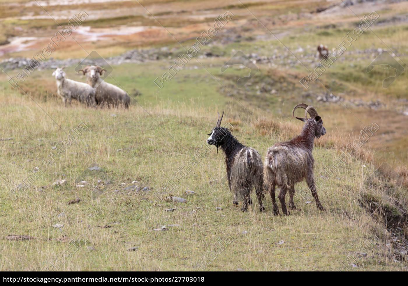 georgia, , mtskheta, , juta., pair, of, goats - 27703018