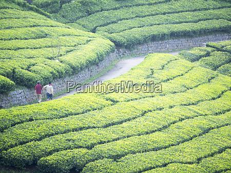 tea plantation in conoor tamil nadu