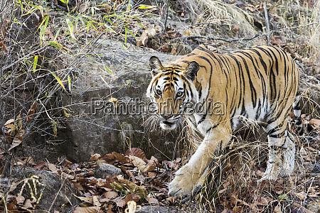 india madhya pradesh bandhavgarh national park