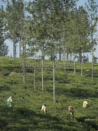 tea, estate, workers, in, fields, in - 27704476