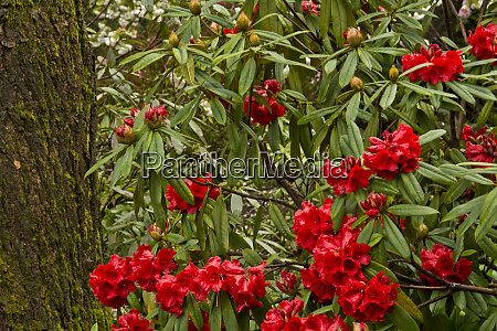 close up rhododendrons crystal springs rhododendron