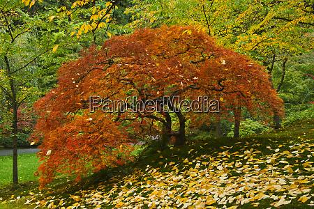 japanese maple autumn portland japanese garden