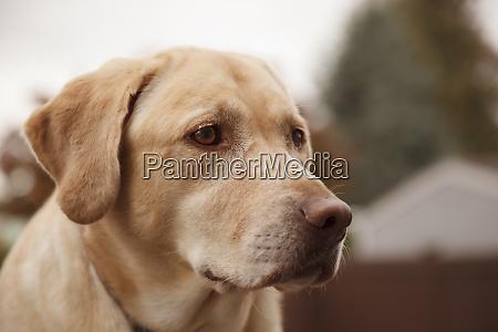 usa oregon keizer labrador retriever pr