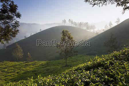 tea plantations munnar western ghats kerala