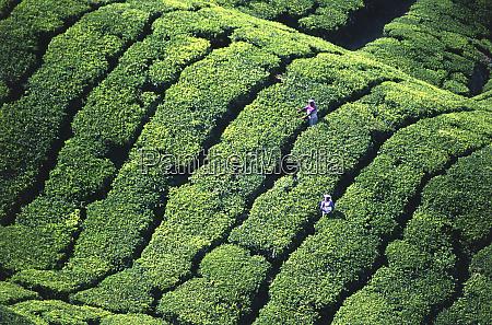 tea pickers munar kerala india