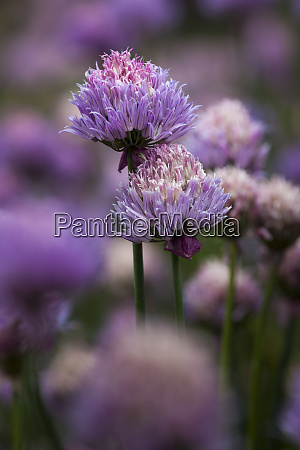 usa oregon keizer chives in the