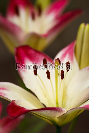 usa oregon keizer cultivated day lily