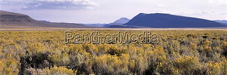 usa oregon alvord desert rabbitbrush blooms