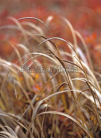 usa oregon mckenzie pass grasses and