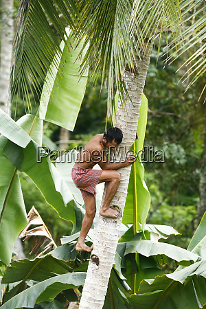 indonesia sulawesi man climbs tree barefoot