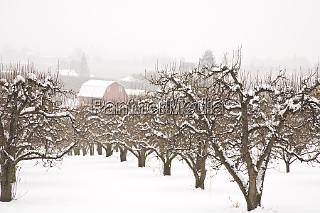 snow covered apple trees and barn