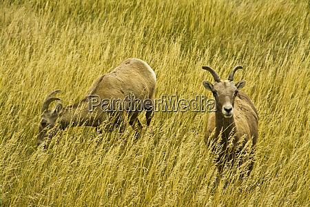 two female bighorn sheep badlands loop