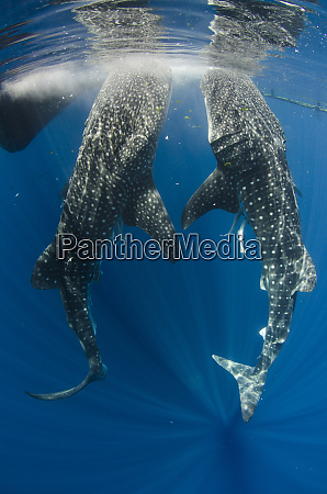 whale shark feeding at bagan cenderawasih