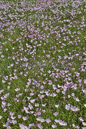 springtime bloom of evening primrose texas