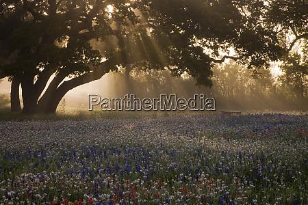field of bluebonnets lupinus texensis paintbrushcastilleja
