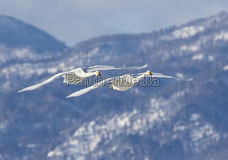 whooper swans flying on frozen lake