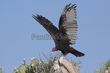 turkey vulture cathartes aura spreading wings