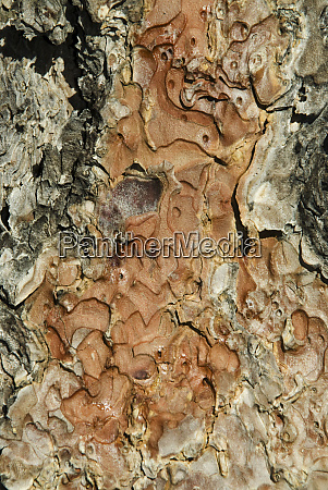 tree bark closeup bryce canyon national