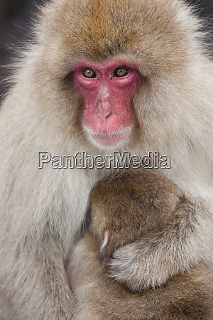 japanese macaque macaca fuscata snow monkey