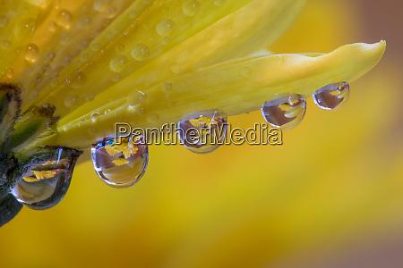 dew drops reflecting flowers macro image
