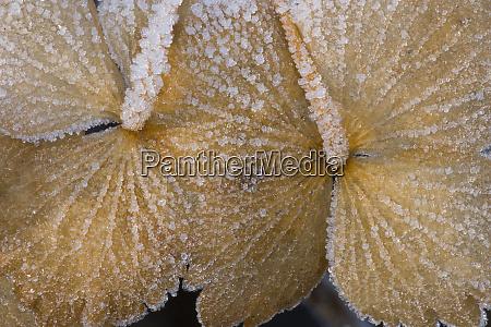winters frost on hydrangea dried flowers