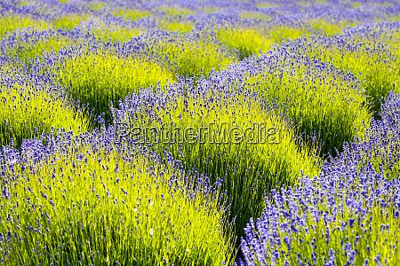 usa washington state port angeles lavender