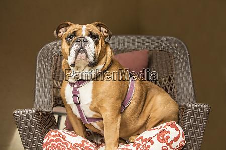 issaquah washington state usa english bulldog